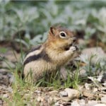 groundhog day - this chipmunk is a stand-in for a groundhog